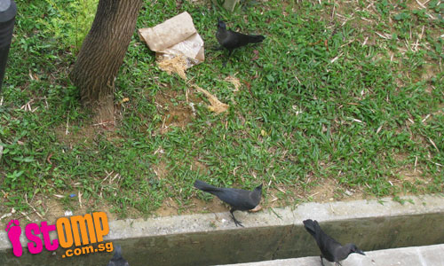 Crows feast on food waste which neighbour throws down everyday