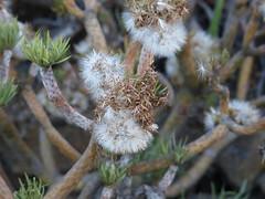 Verode (Fernando Coello Vicente) Tags: plant planta branches lapalma ramas vilano verode cipselas vilanos