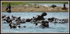 Hipopotamos en el Lago Naivasha (Gabriel Bermejo Muoz) Tags: africa naturaleza lake playing nature animal animals lago bath wildlife conservation safari area animales hippo kenia bao sabana hipopotamo naivasha babuino vidaanimal vidasalvaje naivashalake lagonaivasha gabrielbermejomuoz