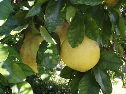 grapefruits 2