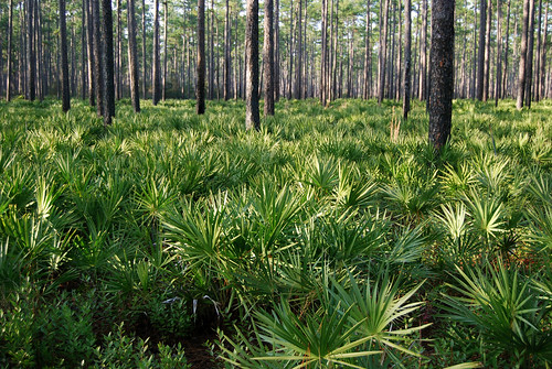 Longleaf pine savanna, Osceola National Forest
