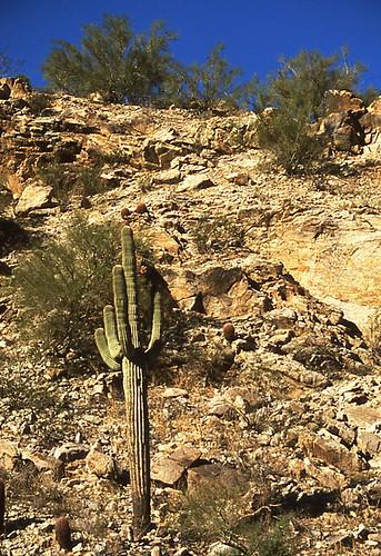 Saguaro on a slope