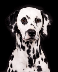 Portrait of a Dalmatian (edwindejongh) Tags: pictures dog pets dogs dogface breed dalmatian blackandwhitedog dalmatier animalphotography dogportrait hondenkop dogonblack edwindejongh hondenportret catvertise sabinevanderhelm hondenras dierenmodellen animalmodellingcappcappdierenfotoscats