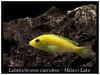 labidochromis caeruleus_800_01 (Bruno Cortada) Tags: malawi marino mbunas cíclidos sudafricanos tanganyica