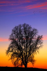 Flying home before the sun sets (kees straver (will be back online soon friends)) Tags: morning blue sunset red sky orange sun tree bird nature water birds yellow sunrise canon landscape eos dawn treesilhouette evening fly wings dusk seagull branches flight 5d flyinghome standingtall flyinginformation colorfulclouds alonelytree mywinners abigfave anawesomeshot dutchskys keesstraver colormysky flyingtoamsterdam