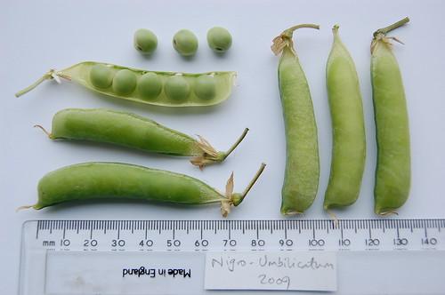 Nigro Umbilicatum