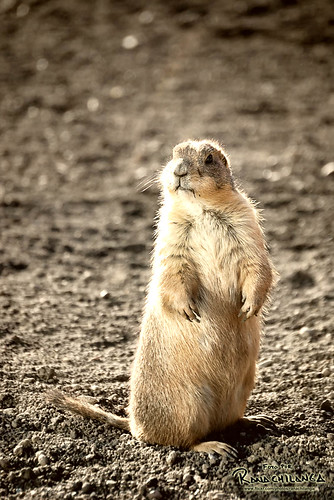 MEXICAN PRAIRIE DOG (Saltillo Coahuila, Mexico)