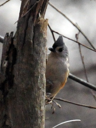 tufted titmouse closeup