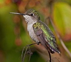 Ruby Throated Hummingbird Female Plantation Key, Florida (kevansunderland) Tags: hummingbird ngc hummer rubythroatedhummingbird naturesfinest birdphotography migratorybirds firebush femalehummingbird floridabirds hamelia diamondclassphotographer flickrdiamond