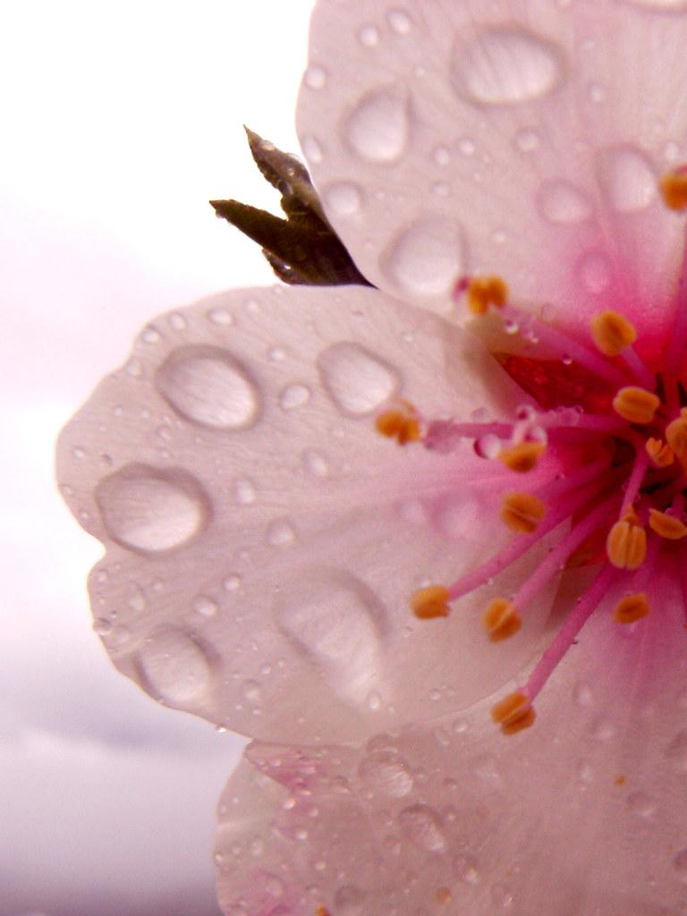 Almond blossom in El Chorro