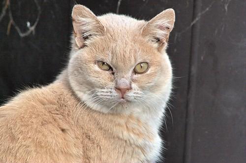 Ginger Bobtail Portrait
