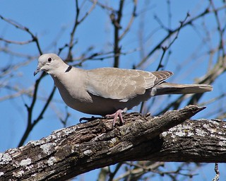 Eurasian Collared Dove, Streptopelia decaocto