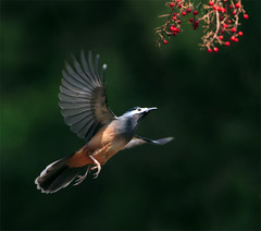 #561  (John&Fish) Tags: wild bird nature wow taiwan best heterophasiaauricularis specanimal beyondbokeh