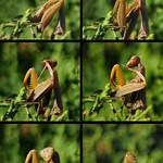 Mantis cleaning itself thumbnail