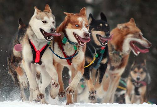 フリー画像| 動物写真| 哺乳類| イヌ科| 犬/イヌ| 犬ぞり|      フリー素材|