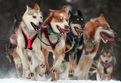 [フリー画像] [動物写真] [哺乳類] [イヌ科] [犬/イヌ] [犬ぞり]      [フリー素材]