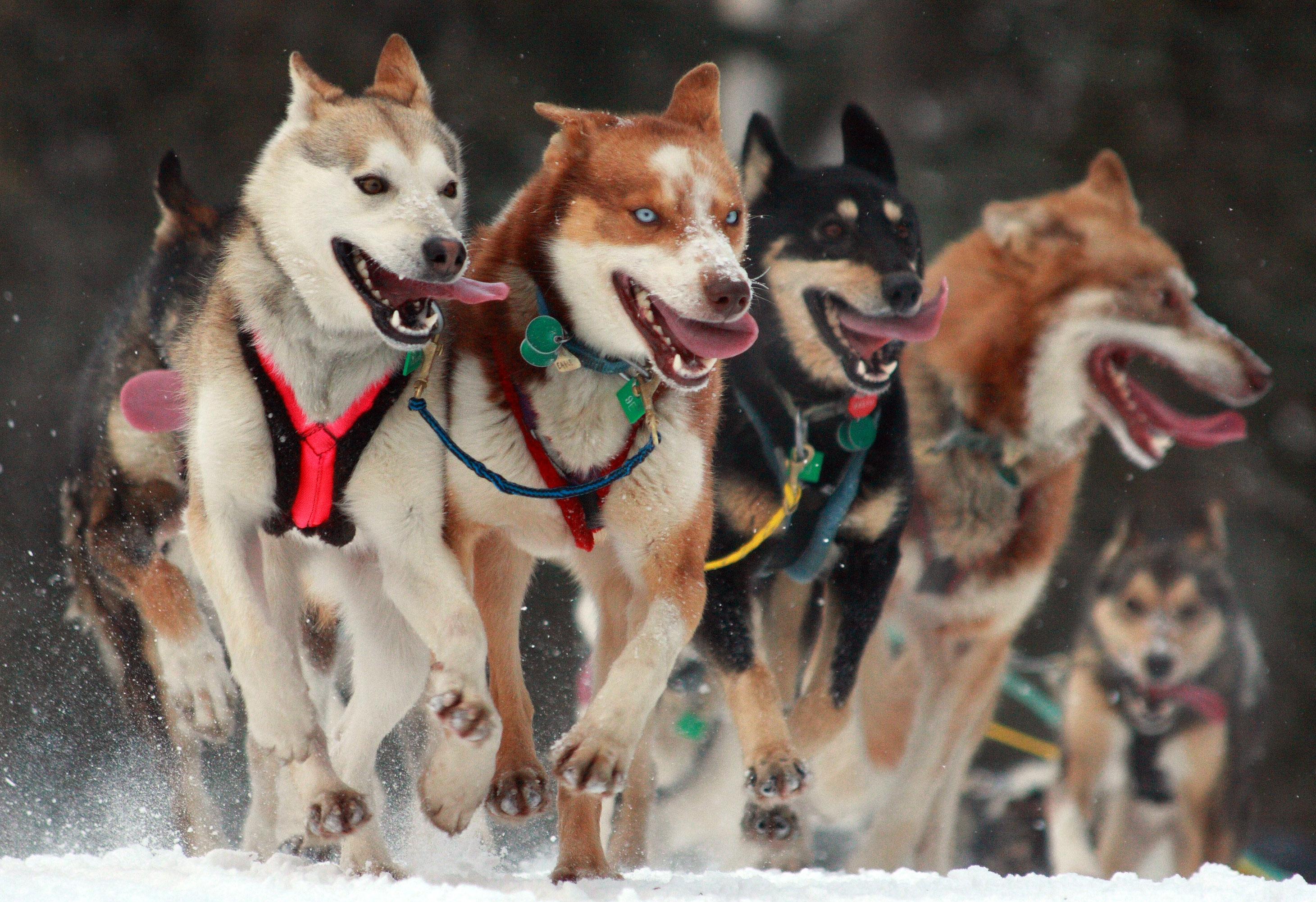 「犬ぞり フリー画像」の画像検索結果