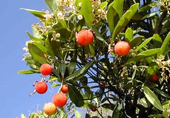 Sardegna -  Strawberry Tree (Corbezzolo) (Luigi Strano) Tags: sardegna sea italy plants europa europe italia sardinia sardinian berries bacche shrubs sardinien sardaigne strawberrytree cerdea arbutusunedo sardenya sardigna corbezzolo cespugli arbusti sardenha caithne villaputzu sardinnya caposanlorenzo