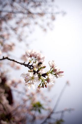 天元宮Sakura