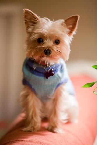 フリー画像| 動物写真| 哺乳類| イヌ科| 犬/イヌ| ヨークシャー・テリア|      フリー素材|