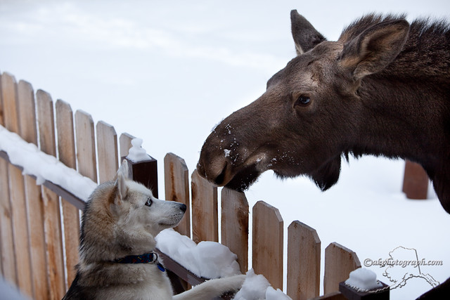 Moose encounters