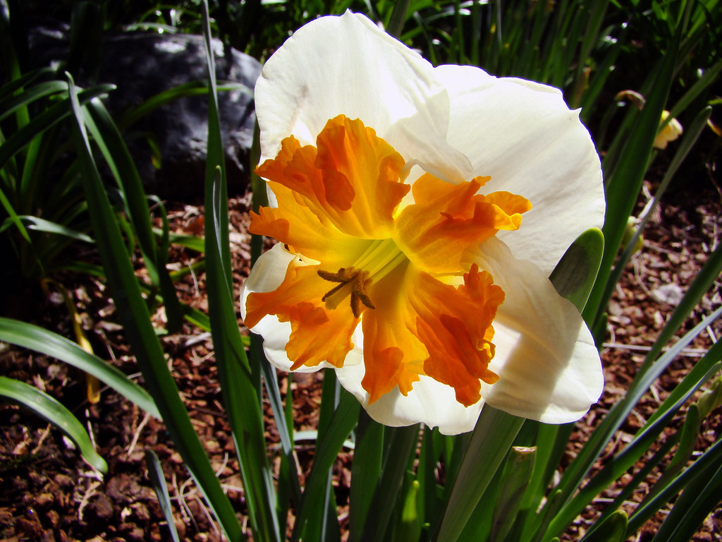 DSC05133 Double narcissus