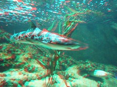 Shark in Artis zoo, 3D photo (anaglyph) (Stereomania) Tags: netherlands amsterdam animal animals zoo stereoscopic stereophotography 3d nederland anaglyph stereo stereoview dieren artis dierentuin anaglif anaglyf anaglifico anaglief
