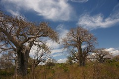 Baobab (Kenya) (Vecaks.narod.ru) Tags: kenya mombasa baobab