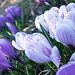 Purple Crocus Flowers March 23, 20101