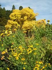 Yellow upon yellow (behinddreaming) Tags: flowers flower green yellow dunedin botanicalgardens goldentree gigatowndunedin gigatowndun