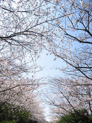 佐鳴湖の桜のトンネル(その2)