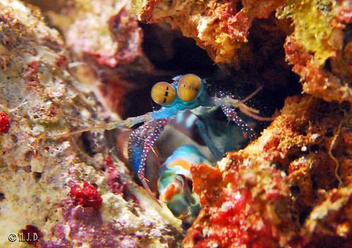 mantis shrimp colours