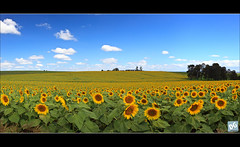 Sunflowers...lots of sunflowers (David de Groot) Tags: panorama flower field canon australia sunflowers killarney sunflower queensland canonef1740mmf4lusm girasol girasoles 6exp hoyapolariser 5dmkii goomburraqueenmaryfallstrip