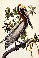 Audubon Brown Pelican