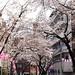 Tokyo Cherry Blossom Season
