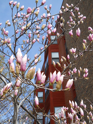 Pink Magnolia buds, red building in background, bright blue sky