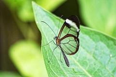 DSC02165_72 (cornishdave) Tags: sony butterflyfarm alpha350