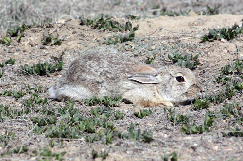 Cottontail rabbit (Sylvilagus sp.)