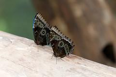 baudchon-baluchon-mindo-papillons-35