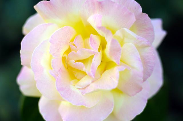 glitter_roses_4
