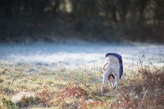 Mouse hunting (Penelope Malby Photography) Tags: dog frost canine whippet fairy lurcher bedlingtonterrier whippetcross equafleece
