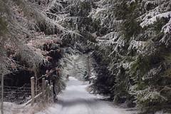 (nettisrb) Tags: winter winterlandschaft winterscene allee weg path bäume waldweg wald wood frost schnee snow forrest tree trees natur naturerlebnis nature