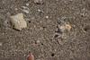 Crab (Debatra) Tags: crab sea beach dhanushkodi rameswaram pamban india tamil tamilnadu d3300 nikon nikkor