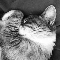 """""""Moi vouloir être chat..."""" 🎶 izzie ❤️ #babycat #bnwphotography #bnw #iphonography #monochrome #blackandwhite (ViviFamily) Tags: babycat bnwphotography bnw iphonography monochrome blackandwhite"""