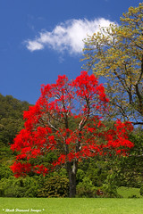 Brachychiton acerifolius - Illawarra Flame Tree (Black Diamond Images) Tags: trees red flower spectacular rainforest native tag australia nsw queensland malvaceae blackdiamond redflowers nativeplants floweringtree floweringtrees  australiannativeplant australiannative sterculiaceae australianflora australiannatives bdi ruralgardens brachychitonacerifolius beautifultrees brachychiton australiannativeplants australianplants australiantrees rainforestplants rainforestplant australianrainforest arfp manningvalley rainforesttrees australianrainforests blackdiamondimages australianrainforestplant australianrainforestplants magnificenttrees flowersrainforest beautifulfloweringtrees floweraustralian hannamvale nswrfp qrfp redfloweringtrees australianrainforestflowers arfflowers beautifulaustralianrainforesttrees redfp redarfflowers flowersaustralian ge2ne2252011 manningvalleygardens