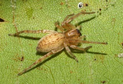 SycamoreSpider1
