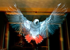 Skyla's Maiden Flight (The Long Experience) Tags: uk red england baby pets birds animals grey europe tail gray flight parrot chick ag africangrey fledgling cag firstflight skyla congoafricangrey fledging maidenflight fledge psittacuserithacus