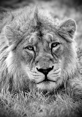 "Asiatic Lion ""Itar"". All Rights Reserved (Ben Peasley Photography A.K.A Spotty Photo) Tags: portrait blackandwhite bw cat zoo big wildlife lion bigcat dudley endangered captive dudleyzoo asiaticlion flickrbigcats"