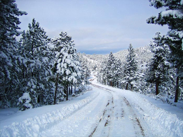 A winter wonderland of snowy pines greets me when I walk down my mountain top drive in the Colorado Rocky Mountains.