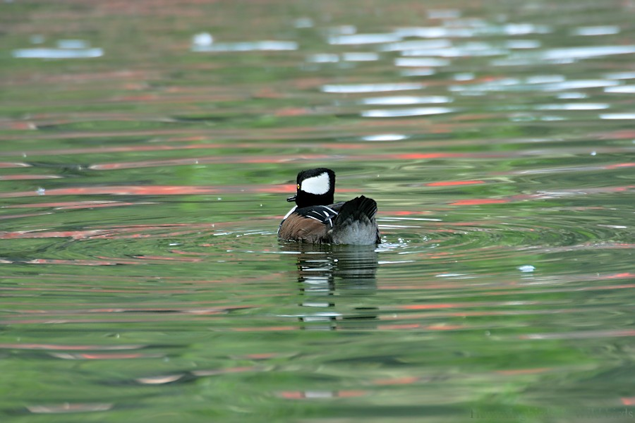 Hooded Merganser 11091